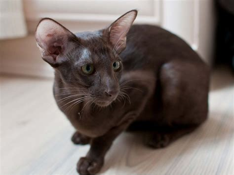 cat price siamese cats kittens for sale price list best siamese