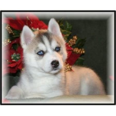 free puppies south dakota the puppy ranch siberian husky breeder in chamberlain south dakota listing id 19742
