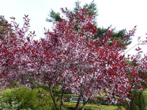cherry tree and associates purple leaf sand cherry shrub low grow around rock back of corner hill garden
