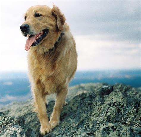 golden retriever hiking hiking friend