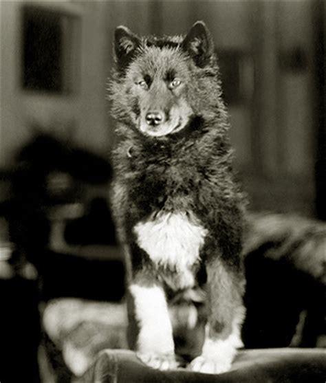 balto puppies the legend of balto ara canine rescue inc siberian husky rescue and adoption