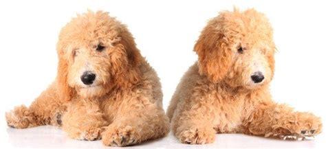 golden retriever knee problems golden retriever poodle mix information on goldendoodles