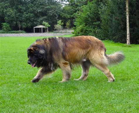 when are dogs grown leonberger info puppies temperament care pictures