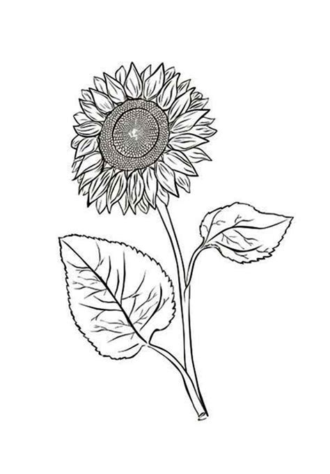 sunflower   leaves coloring page  print
