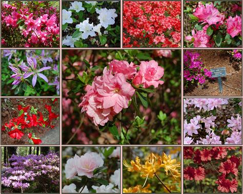 azalea bush colors recollections of a vagabonde azaleas at callaway gardens