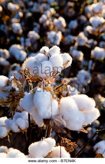 Ready Stock Cotton On cotton ready for harvest stock photos cotton ready for