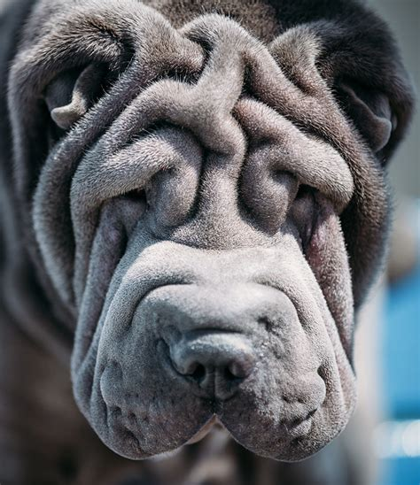 to the dogs a complete guide to the shar pei breed