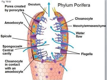 sponge external anatomy diagram porifera