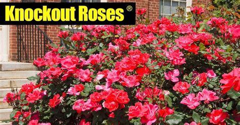 knockout roses www pixshark com images galleries with a bite