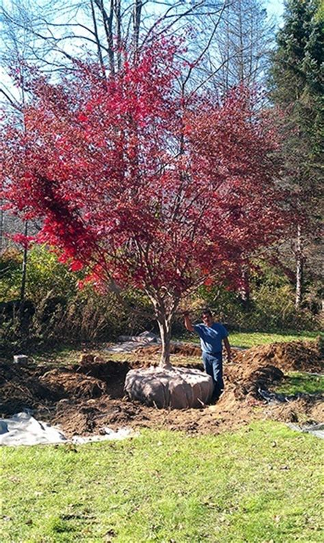transplanting a maple tree japanese maple trees everything you wanted to the tree center