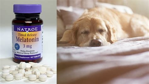melatonin dosage for dogs melatonin for dogs uses dosage side effects dogtime