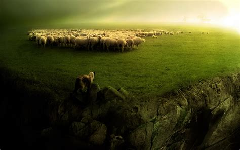 sheep no more the of awareness and attack survival books 88 sheep hd wallpapers backgrounds wallpaper abyss
