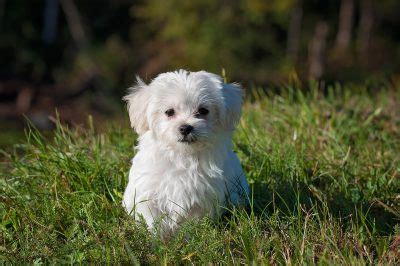 maltese puppy names maltese names 99 adorable ideas for maltese pups