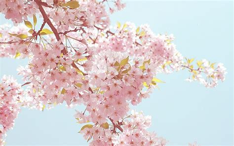 imagenes fondo de pantalla flores cool fondo de pantalla flores sakura jap 243 n fondo de
