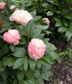 peony growth habits a peony for every place crickethillgarden
