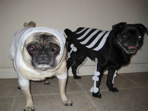 pug skeleton pin by welch on pugs