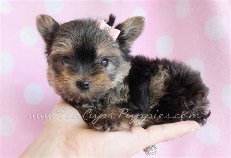tiny yorkies pin tiny teacups yorkies on
