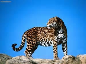 Mountain Jaguar Animals Second Look Jaguar Picture Nr 14554