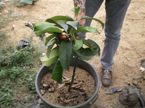 Tanaman Manggis Pohon Manggis 085894576246 cara menanam manggis didalam pot