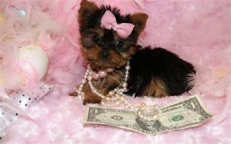 yorkie terrier for free quality baby teacup terrier puppies ready now for you gift