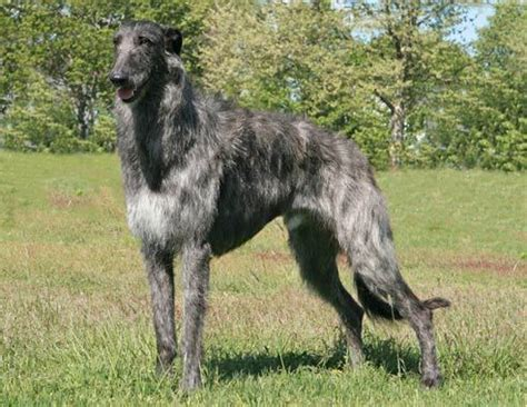 scottish deerhound puppies scottish deerhound breed information