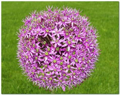 fiori da bulbo fiori a bulbo bulbi fiori a bulbo caratteristiche