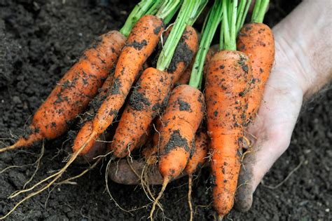 10 ways to avoid carrot root fly gardenersworld - Are Carrots A Root Vegetable