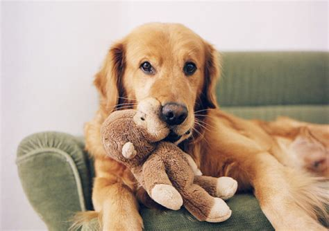 teddy golden retrievers golden retriever teddy image 459780 on favim