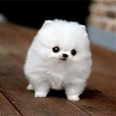 small fluffy breeds the gallery for gt white puppies breeds