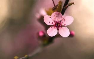 cherry blossom images flowering cherry blossom wallpapers pictures