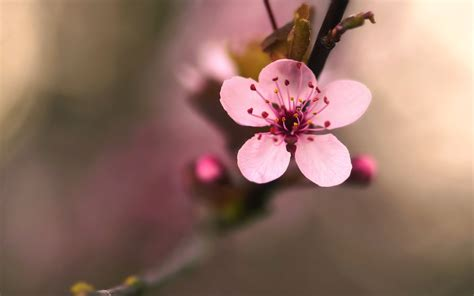 flower blossom wallpaper cherry blossom flower 30540 2560x1600 px hdwallsource com