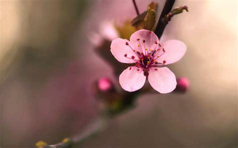 cherry blossom flower 30540 2560x1600 px hdwallsource com