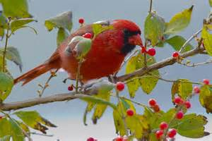 winter berries for birds the national wildlife