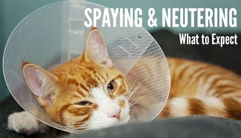 how is recovery for a being spayed after surgery the cone breeds picture
