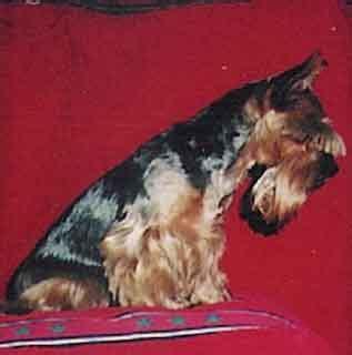 Hodowla Margarejro - Yorkshire Terrier - yorki domowe