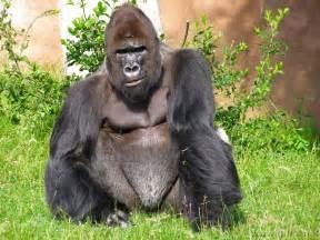 descargar imagenes de monos negros los bonitos animales omnivoros y carn 237 voros animal world