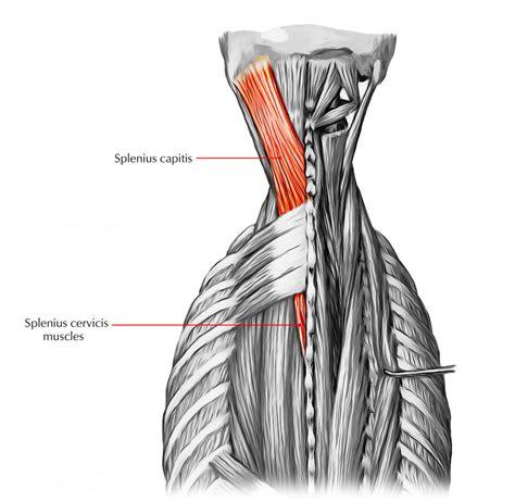 labeled human back muscles image diagram human anatomy chart