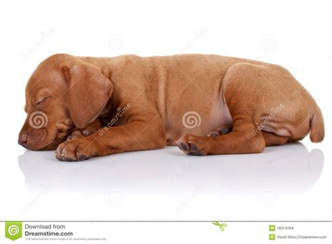 vizsla puppies for sale wi vizslas for sale vizsla puppies for sale vizsla breeder kennels breeds picture
