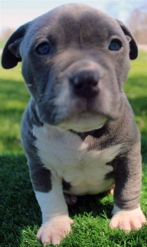 pitbull puppies for sale in ny 25 best ideas about pitbull puppies for sale on baby pitbulls for sale