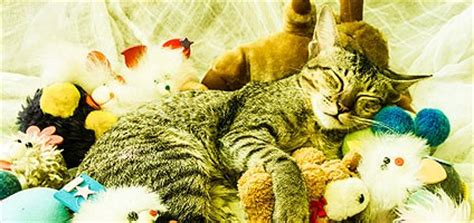 Toys Around The House by Does Your Cat Hide His Toys Around The House Catster