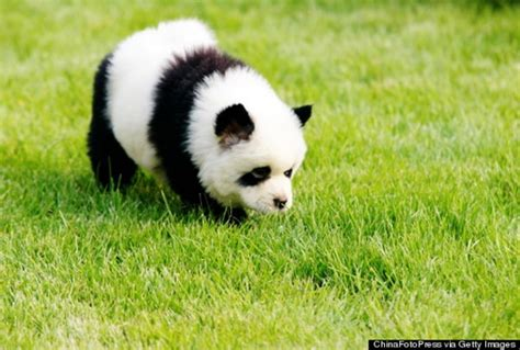 puppies that are 40 fluffy pictures of puppies that looks like pandas and fur