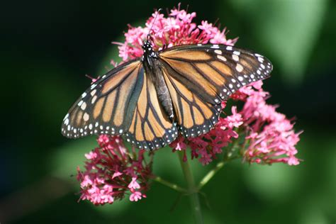 The Monarch Butterfly monarch butterfly migration news