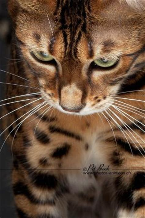 Cutiez Catz 1 bengal cats