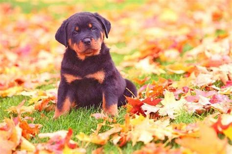 boy rottweiler names rottweiler names your boy rottie will