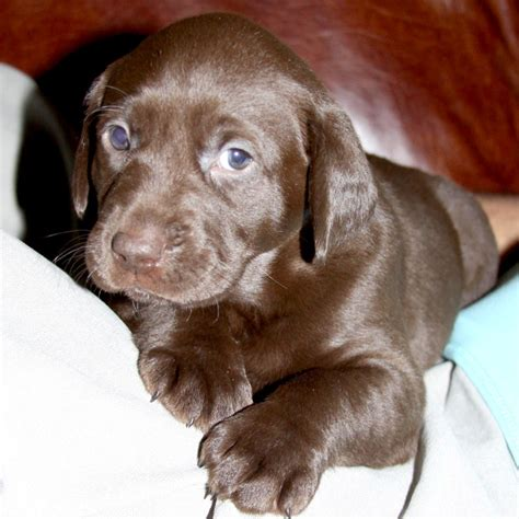 pudelpointer puppies for sale what is a pudelpointer breeds picture