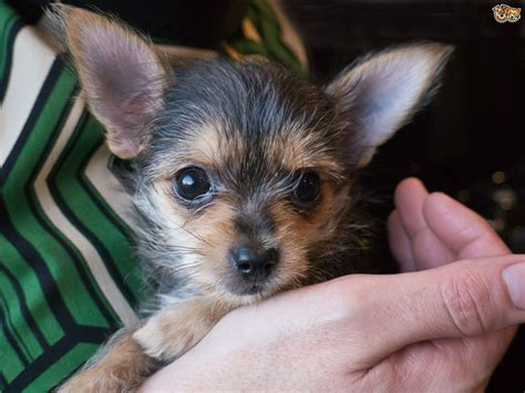 chorkie puppy chorkie breed information buying advice photos and facts pets4homes