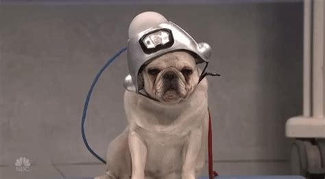 snl pug saturday live gif find on giphy