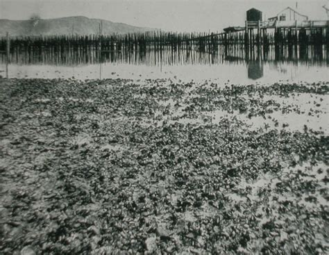oyster beds herman e lauter oyster beds south san francisco bay 1935