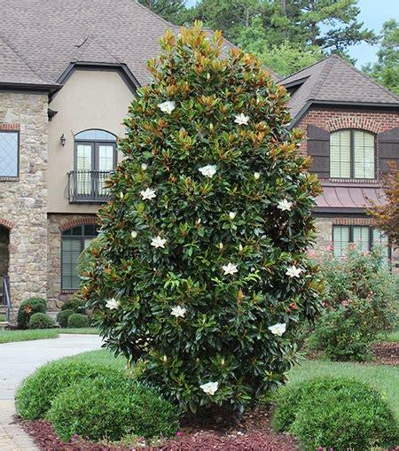 magnolia  gem   plants garden supplies