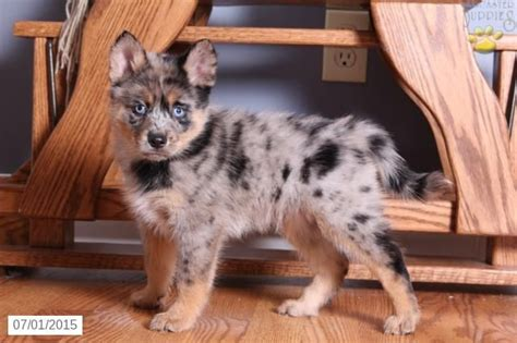 puppies for sale in ohio 86 best images about pomsky pups on sweet
